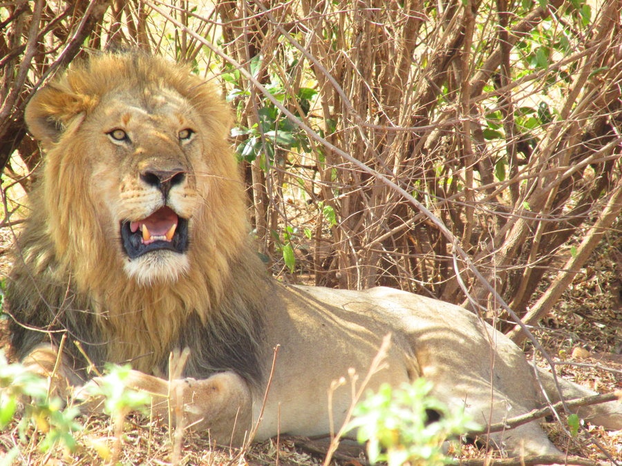rsz mara lion kingdom